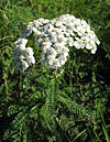 Yarrow maybe.jpg