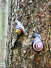 Cepaea nemoralis active pair on tree trunk.jpg