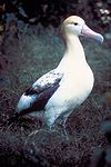 Short tailed albatross.jpg