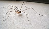 Harvestman on white 01.JPG