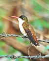 Cinnamon-sided Hummingbird.jpg