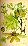 Illustration Acer platanoides0.jpg