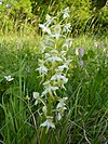 Butterfly Orchid - Platanthera chlorantha 2a.jpg