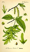 Illustration Carpinus betulus0.jpg